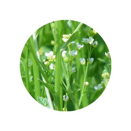 HV ABYSSINIE/ Huile Végétale de Crambe d'Abyssinie BIOLOGIQUE 100 ml