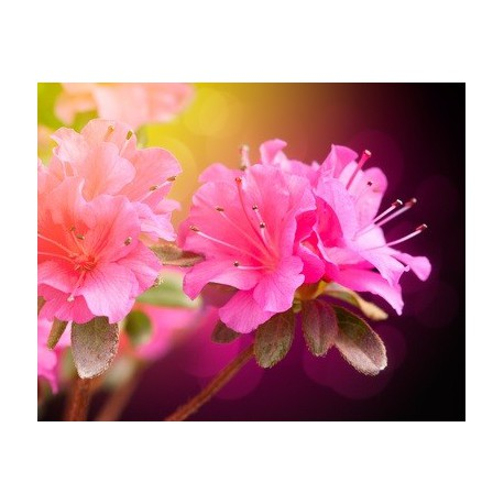 Azalea (fragrance sans allergènes) 10 ml