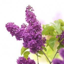 LILAS  (fragrance 'Premium' sans allergènes) 50 ml