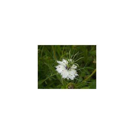 Huile Végétale de NIGELLE Vierge et Biologique 50 ml