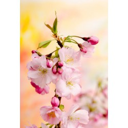 CHERRY BLOSSOM Fragrance standard 10 ml