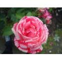 ENGLISH ROSE Fragrance standard 10 ml  DLUO: 03/2019