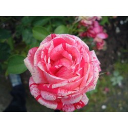 ENGLISH ROSE Fragrance standard 10 ml