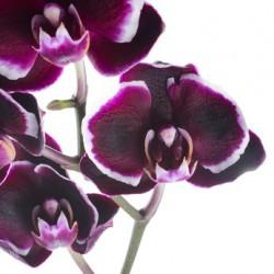 BLACK ORCHID Fragrance standard 10 ml