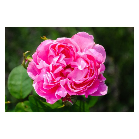 Rose Anglaise  (fragrance 'Premium' sans allergènes) 10 ml