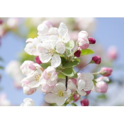 Fleurs de Pommier Fragrance stantard 50 ml