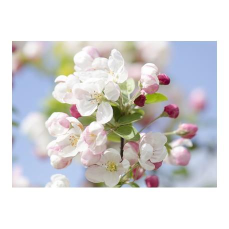 Fleurs de Pommier Fragrance stantard 10 ml