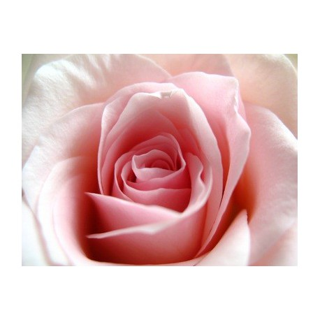Rose-Thé (fragrance sans allergènes)