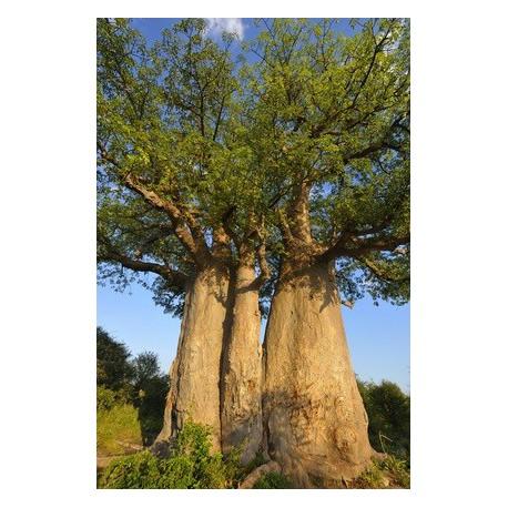 huile v g tale vierge de baobab 100 ml prix baiss les utiles de zinette. Black Bedroom Furniture Sets. Home Design Ideas