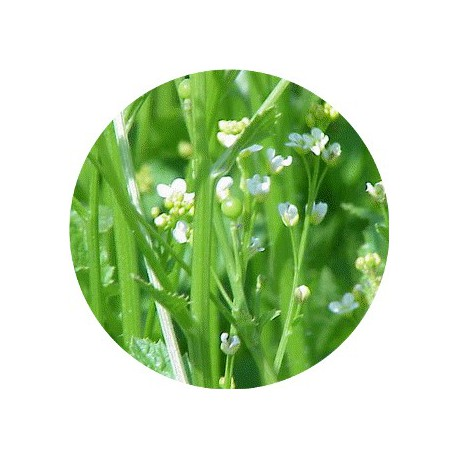 HV ABYSSINIE/ Huile Végétale de Crambe d'Abyssinie 100 ml