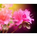 Azalea (fragrance sans allergènes) 10 ml