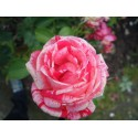 ENGLISH ROSE Fragrance standard 10 ml