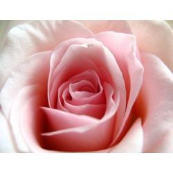 Rose thé (fragrance sans allergènes)
